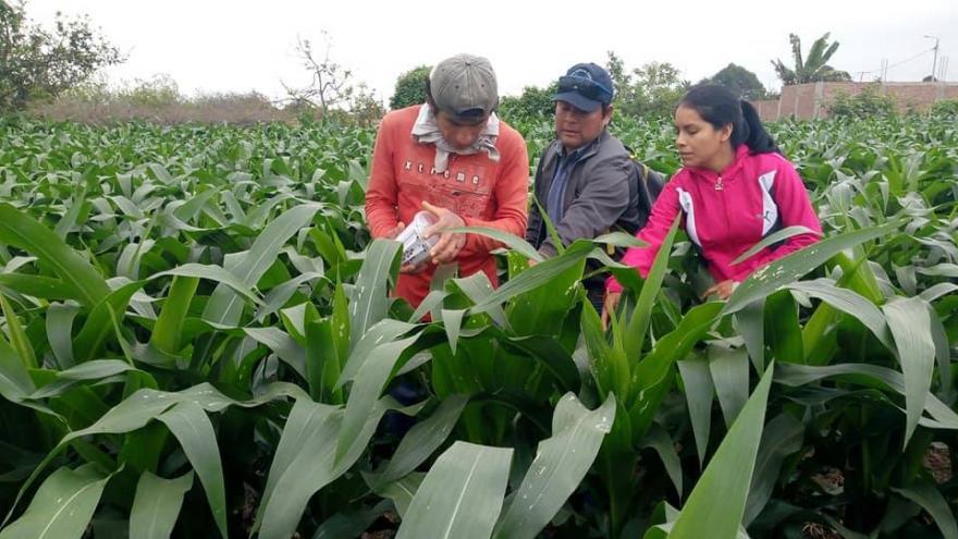 LA LIBERTAD: REDUCEN COSTO DE PRODUCCIÓN DE MAÍZ AMARILLO DURO PARA PEQUEÑOS AGRICULTORES
