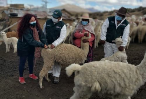 Agro Rural inicia campaña en Moquegua para proteger 300,000 cabezas de ganado de las heladas